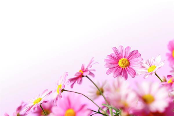 Daisy Photograph - Pink Summer Daisy Flowers by Thomasvogel