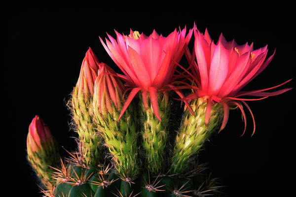 Photograph - Pink Torch Cactus  by Saija Lehtonen