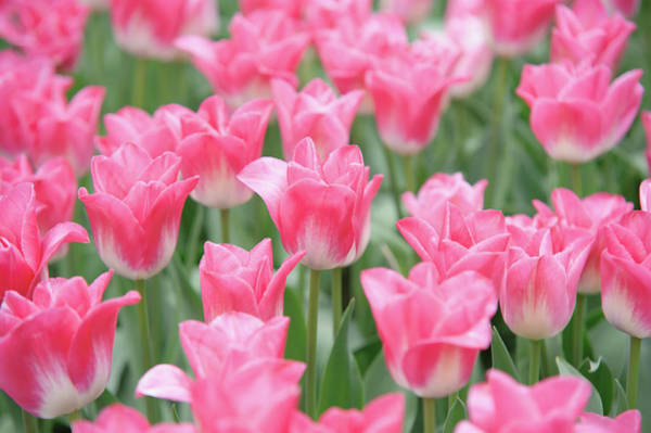 Photograph - Pink Triumph Tulips Innuendo by Jenny Rainbow