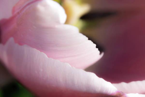 Photograph - Pink Tulip Petals by Scott Lyons