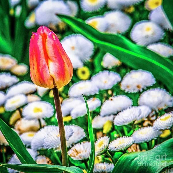 Photograph - Pink Tulipa by Nigel Dudson