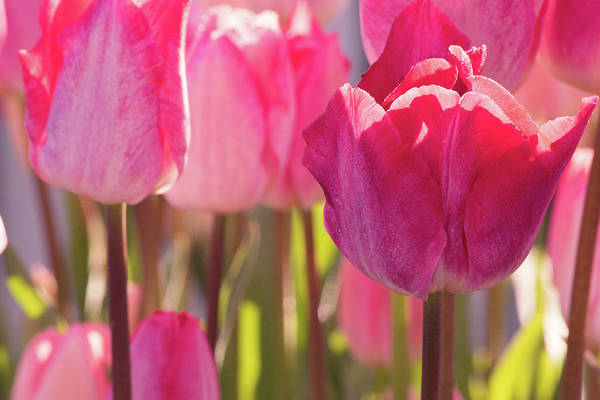 Wall Art - Photograph - Pink Tulips by Bonnie Bruno