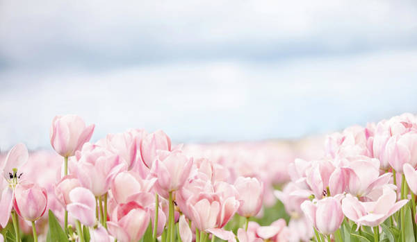Wall Art - Photograph - Pink Tulips In Field by Rebecca Cozart