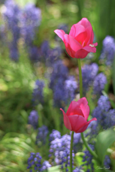 Photograph - Pink Tulips On A Breezy Spring Day by Trina Ansel