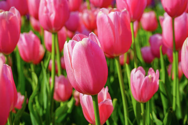 Photograph - Pink Tulips by Susan Rydberg