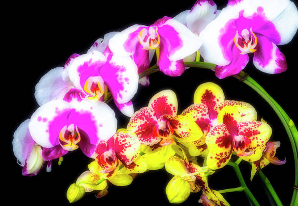 Wall Art - Photograph - Pink White And Yellow Orchids by Garry Gay