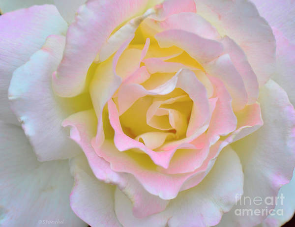 Wall Art - Photograph - Pink White Yellow Delight by Debby Pueschel