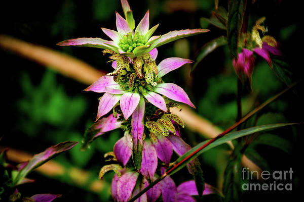 Photograph - Pink Wildflower by William Norton