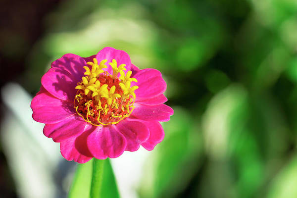 Photograph - Pink Zinnia by Jason Fink