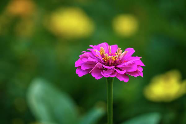 Photograph - Pink Zinnia by Robert FERD Frank