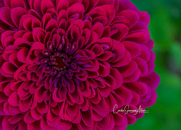 Wall Art - Photograph - Pinked Zinnia by Connie Allen