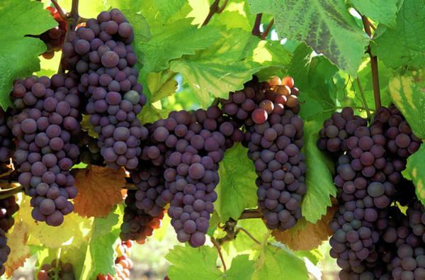 Okanagan Wall Art - Photograph - Pinot Gris Grapes Organic by Laughingmango