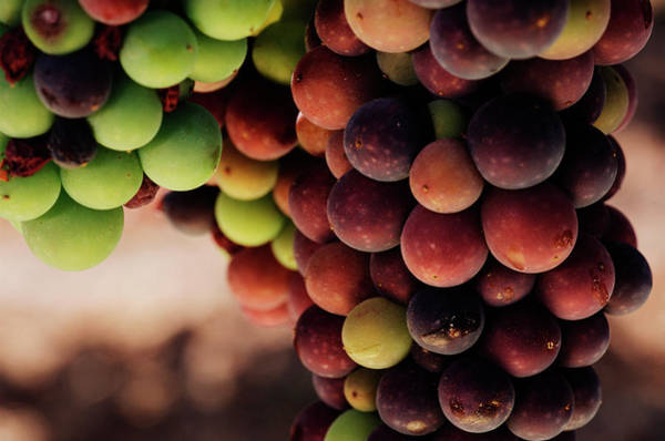 Photograph - Pinot Noir Grapes Ripen On The Vine by George Rose