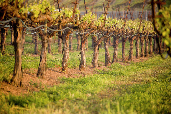 Sonoma County Photograph - Pinot Noir Grapevine In Spring by Sarasang