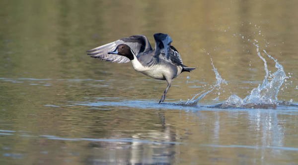 Photograph - Pintail Duck 9413-111118-1cr by Tam Ryan
