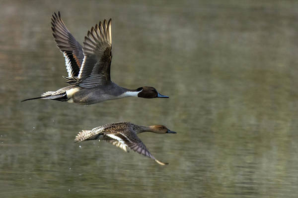 Photograph - Pintail Ducks 0070-010519-1 by Tam Ryan