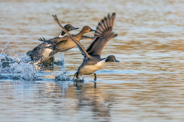 Photograph - Pintail Ducks Liftoff 8069-122718-1 by Tam Ryan