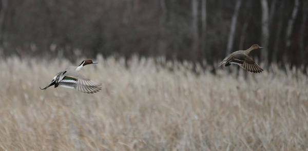 Wall Art - Photograph - Pintails Rising by Whispering Peaks Photography