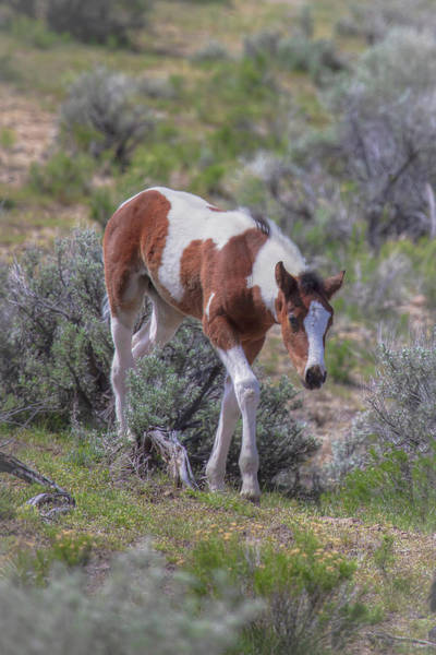 Wall Art - Photograph - Pinto Foal - South Steens Mustangs 01011 by Kristina Rinell