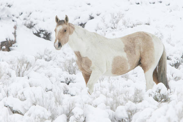 Photograph - Pinto Lead Mare by Kent Keller