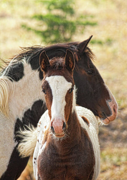 Mare Photograph - Pinto Mare And Colt by Melinda Moore