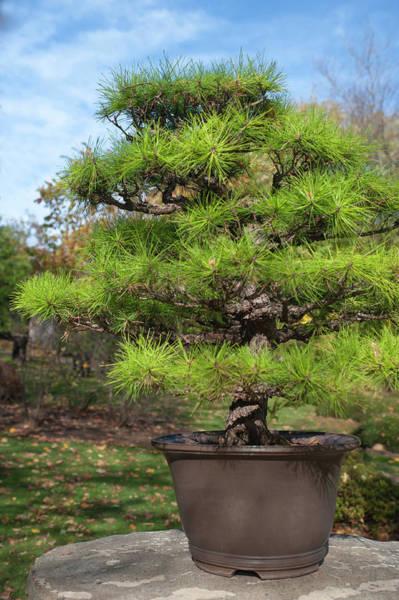 Photograph - Pinus Thunbergii Bonsai 1 by Jenny Rainbow