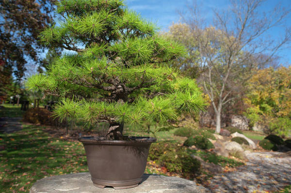 Photograph - Pinus Thunbergii Bonsai by Jenny Rainbow