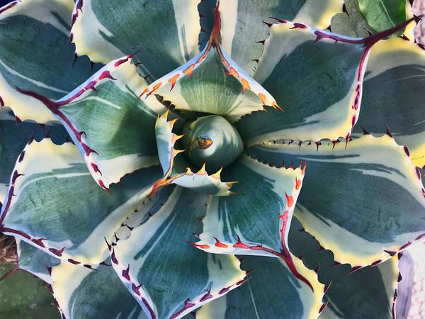 Photograph - Pinwheel Succulent by Tom Gresham