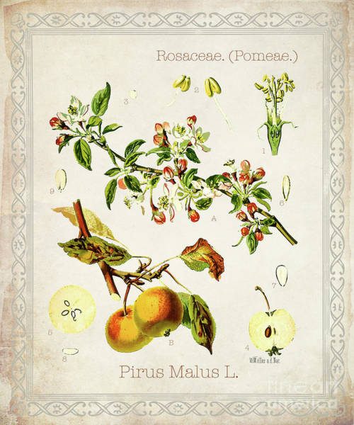 Orchard Digital Art - Pirus Malus by Jean Plout