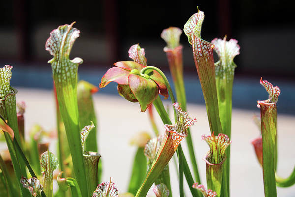 Photograph - Pitcher Plants by Cynthia Guinn