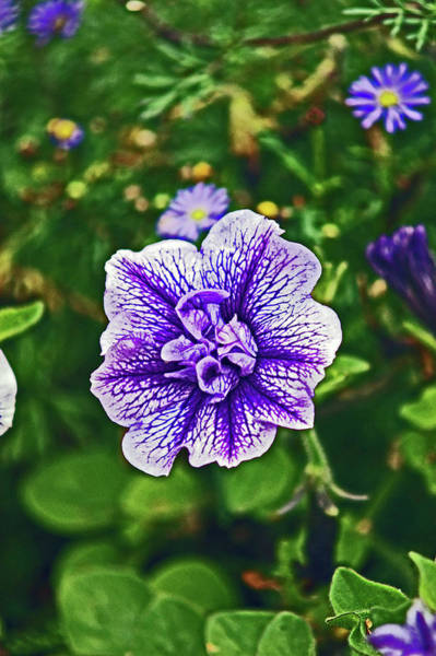 Photograph - Pitlochry.  Purple Petunia. by Lachlan Main