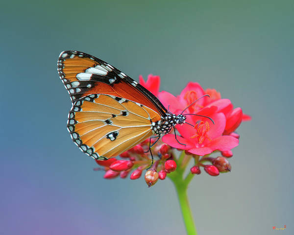 Plain Tiger Or African Monarch Butterfly Dthn0246 Art Print