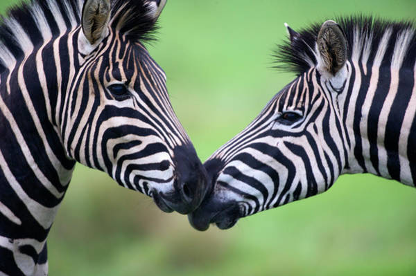 Zebra Pattern Photograph - Plains Zebra Equus Quagga Pair by Heinrich Van Den Berg