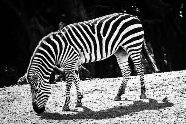 Wall Art - Photograph - Plains Zebra In Black And White by Garry Gay