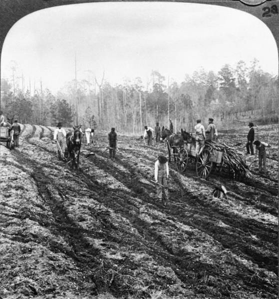Plow Horses Photograph - Planting Sugar Cane In Georgia by Hulton Archive