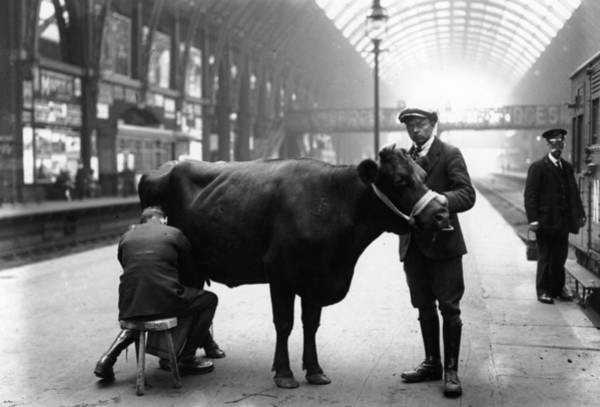 Cow Photograph - Platform Milking by Fox Photos
