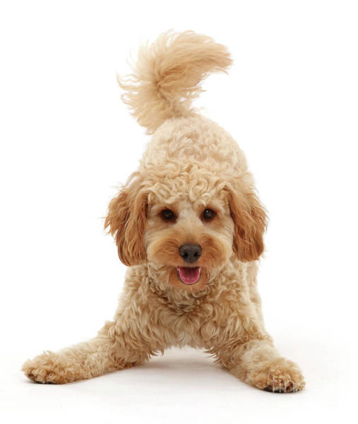 Photograph - Play-bow Cavapoo by Warren Photographic