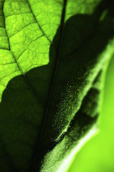 Photograph - Play Of Light And Shadow. Green Leaf Macro 1 by Jenny Rainbow