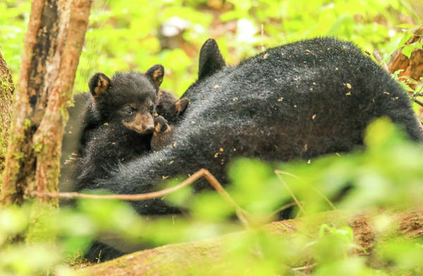 Photograph - Playful Black Bear Cubs by Dan Sproul