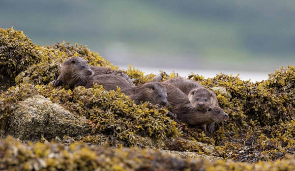 Photograph - Playful Four Otters by Peter Walkden