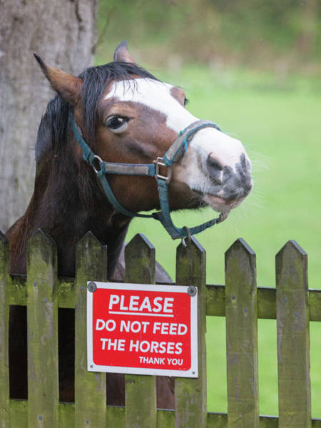 Feed Me Photograph - Please Can I Have An Apple - Horse - Please Do Not Feed The Horses by Anita Nicholson