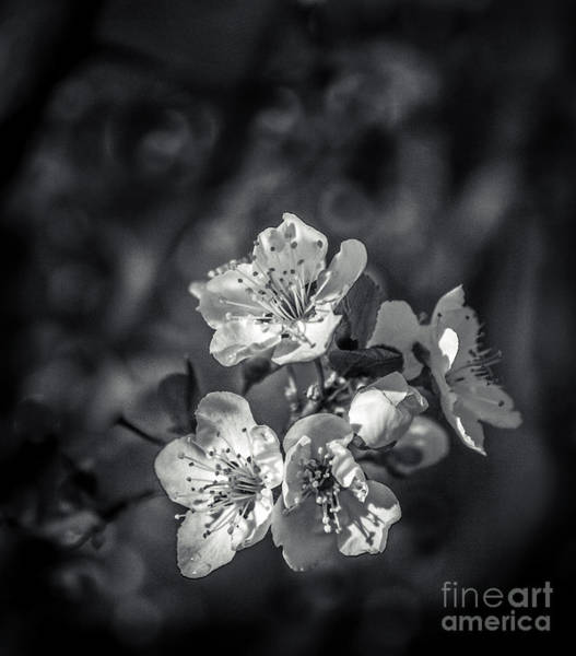 Wall Art - Photograph - Plum Blooms by Robert Bales