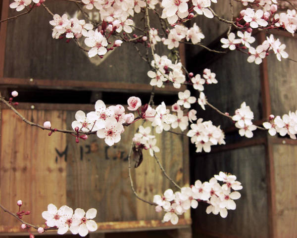 Wall Art - Photograph - Plum Blossoms And Apple Boxes by Lupen Grainne
