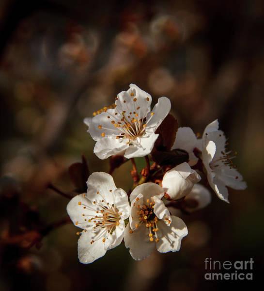 Wall Art - Photograph - Plum Tree Blooms by Robert Bales