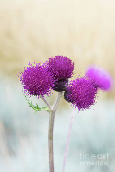 Photograph - Plume Thistle Flowers by Tim Gainey
