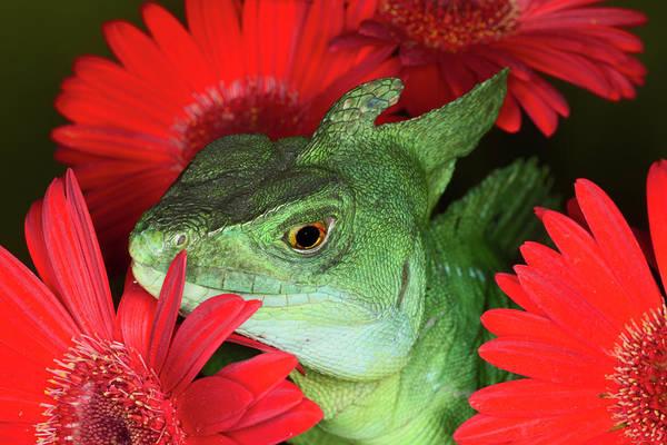 Wall Art - Photograph - Plumed Basilisk Lizard, Also Known by Adam Jones