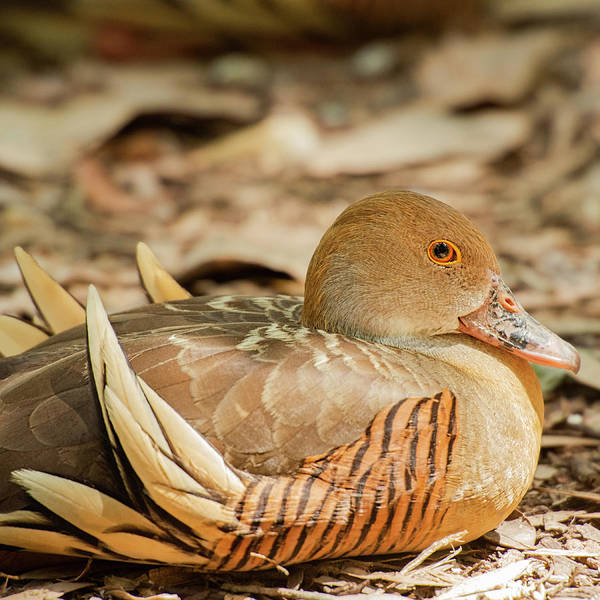 Photograph - Plumed Whistling Duck by Rob D Imagery