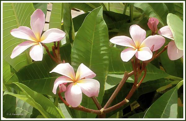 Photograph - Plumeria Flowers by A Gurmankin