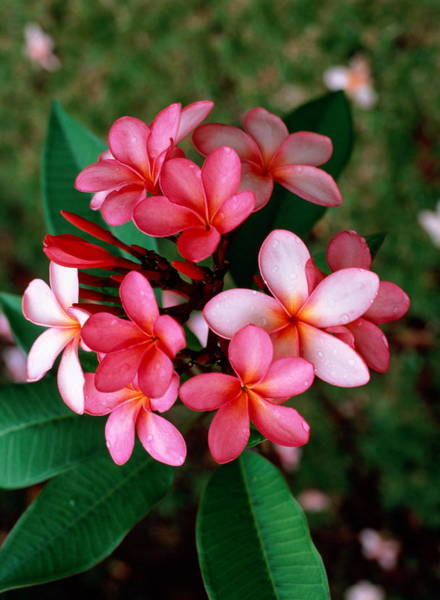Rarotonga Photograph - Plumeria Frangipani In Full Bloom by Christopher Arnesen