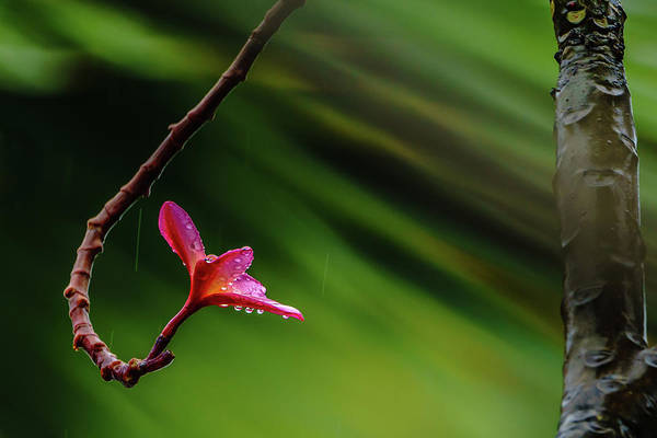 Photograph - Plumeria Looking Up by John Bauer
